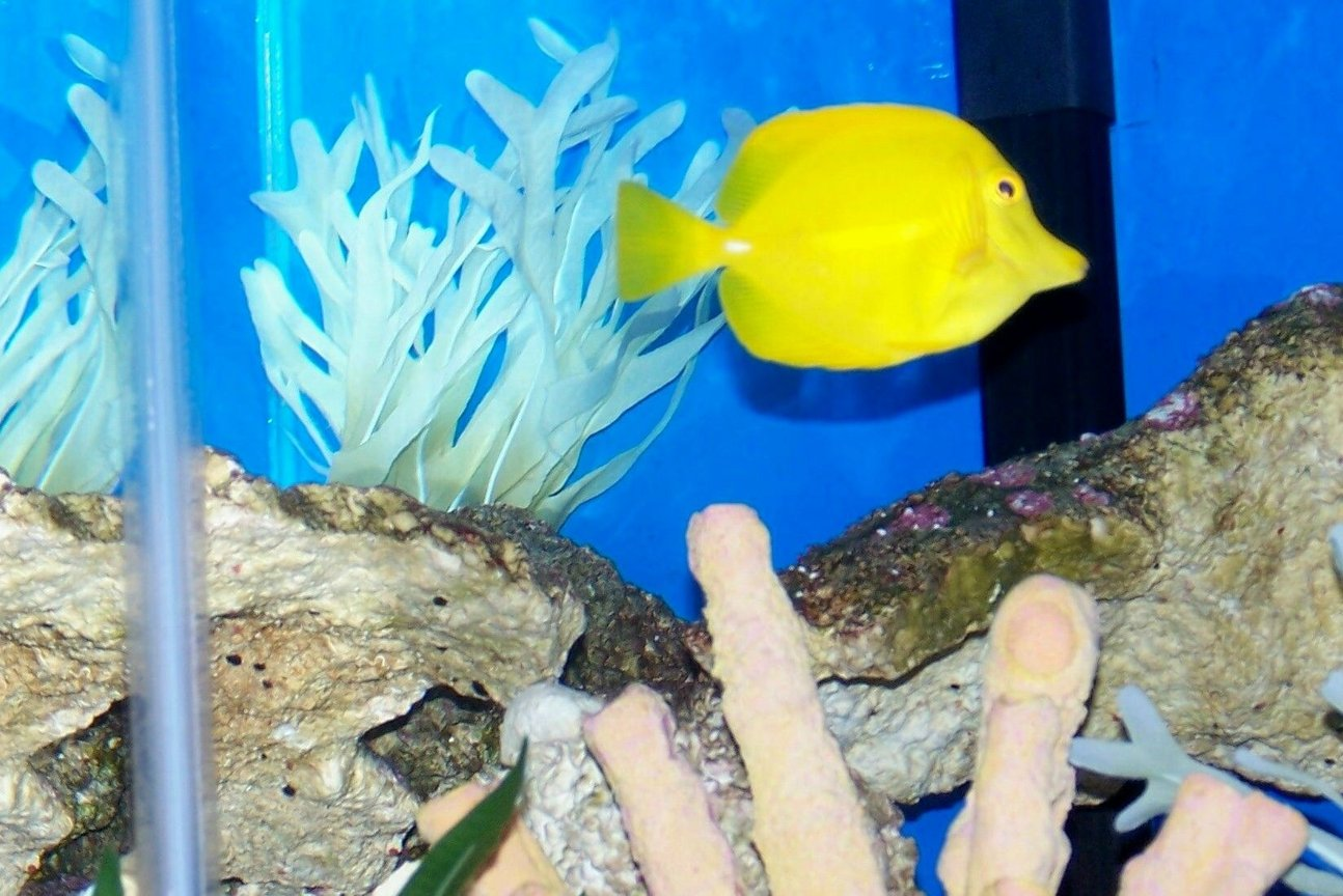 saltwater fish - zebrasoma flavescens - yellow tang - hawaii stocking in 50 gallons tank - My yellow tang King of the reef