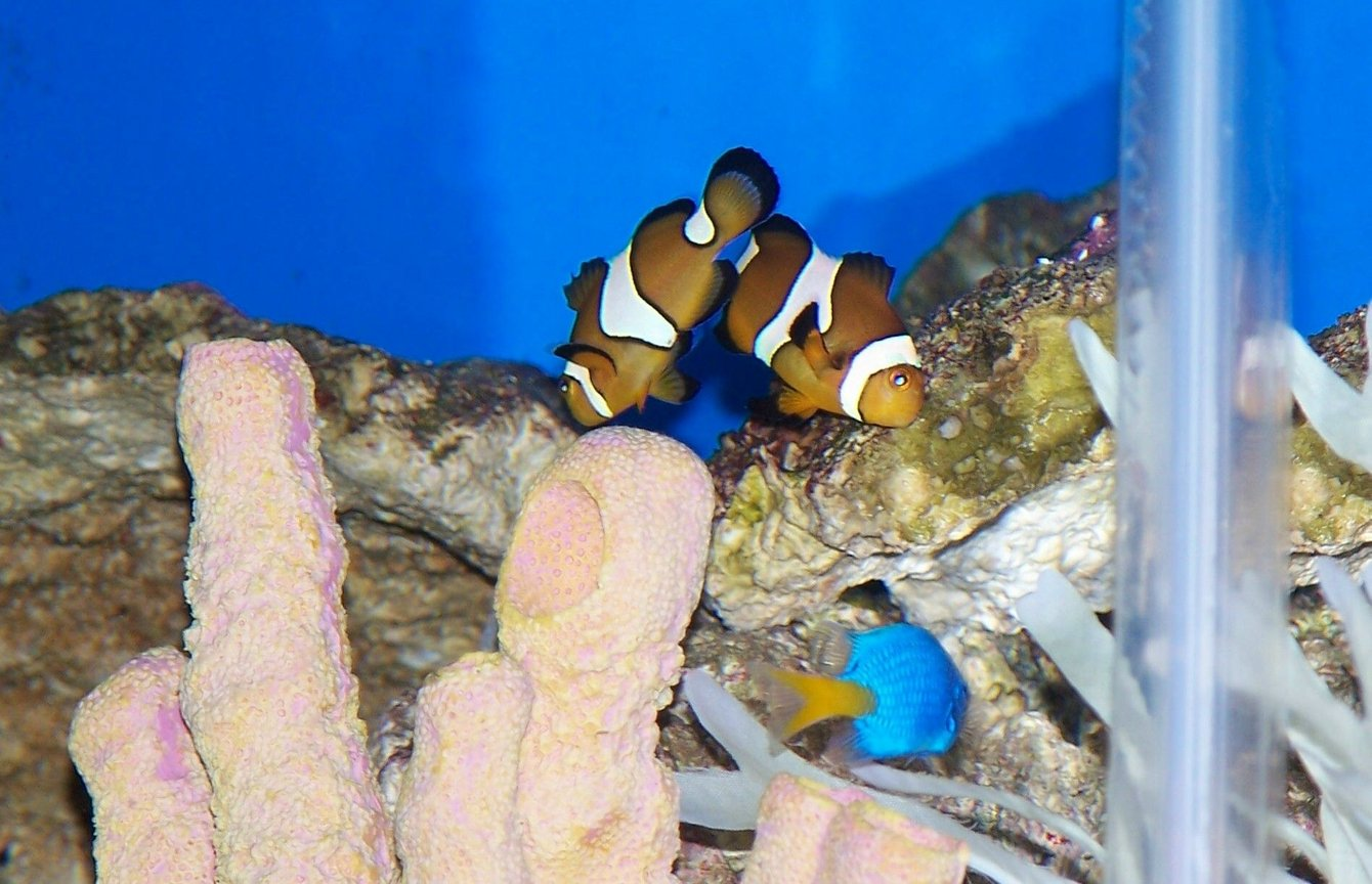 saltwater fish - amphiprion percula - true percula clownfish stocking in 50 gallons tank - My clowns keeping an eye on their new neighbor.