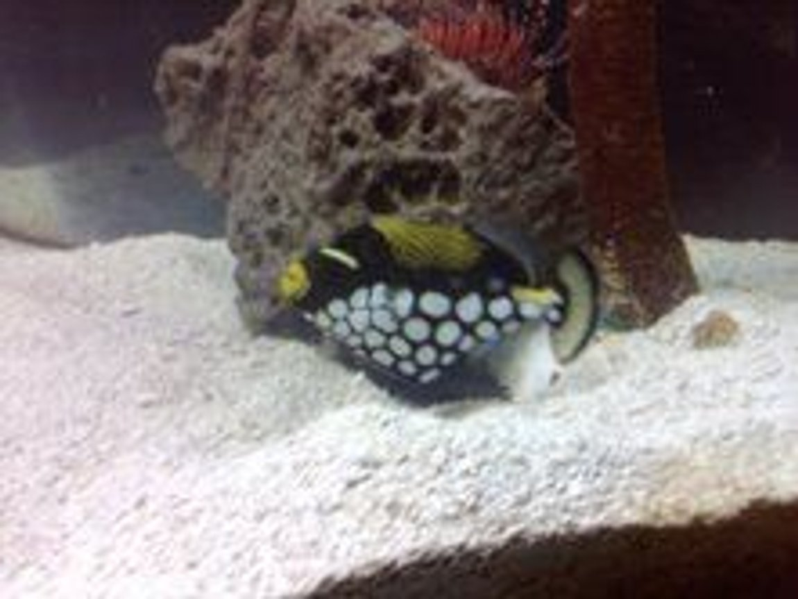 saltwater fish - balistoides conspicillum - clown triggerfish stocking in 110 gallons tank - clown fish