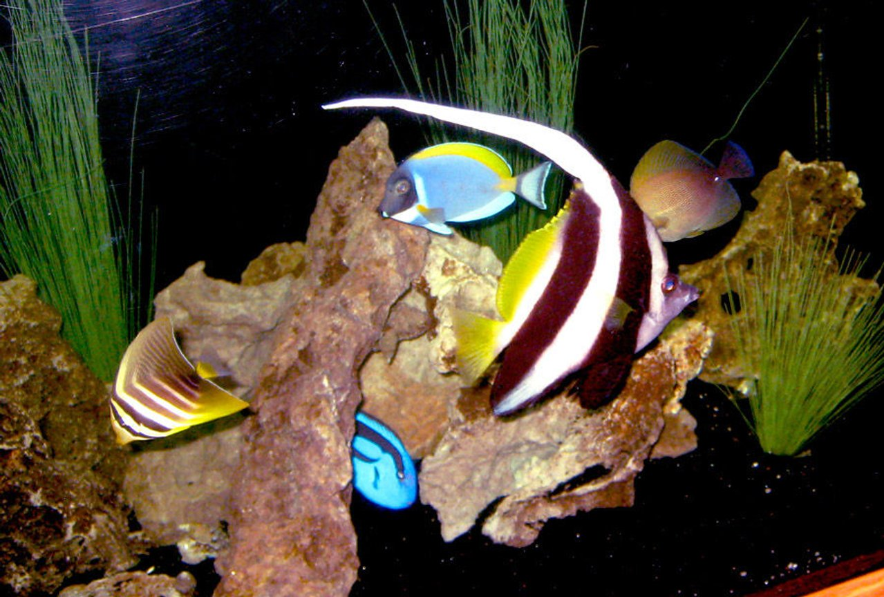 saltwater fish - heniochus acuminatus - heniochus black and white butterflyfish stocking in 130 gallons tank - Group Picture! : ) Fishes in the Picture: Heniochus, Blue Tang, Sailfin Tang, Brown Tang, Powder Blue Tang
