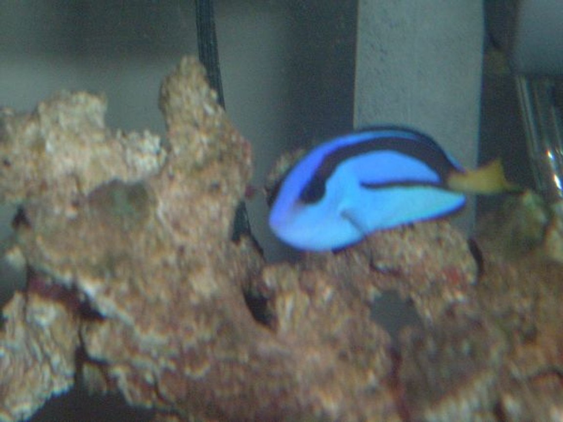 saltwater fish - paracanthurus hepatus - blue tang stocking in 36 gallons tank - Regal Tang