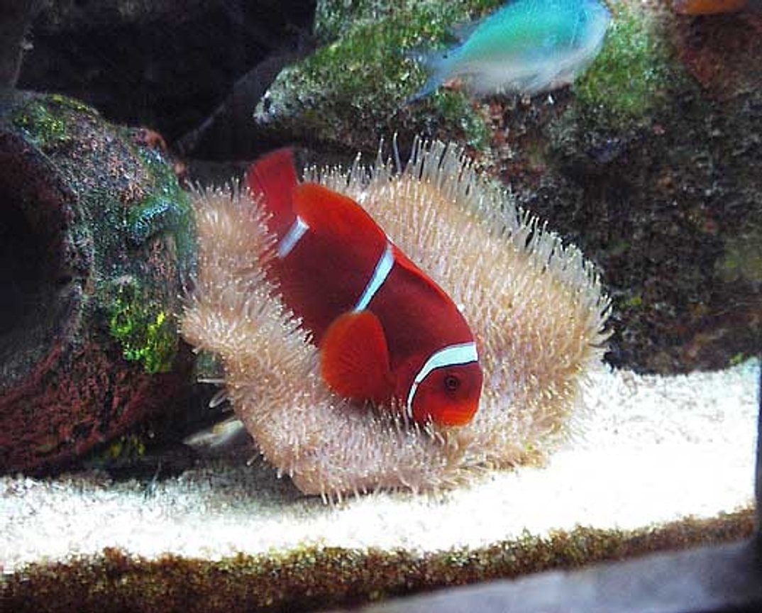 saltwater fish - premnas biaculeatus - maroon clownfish stocking in 67 gallons tank - Maroon Clownfish