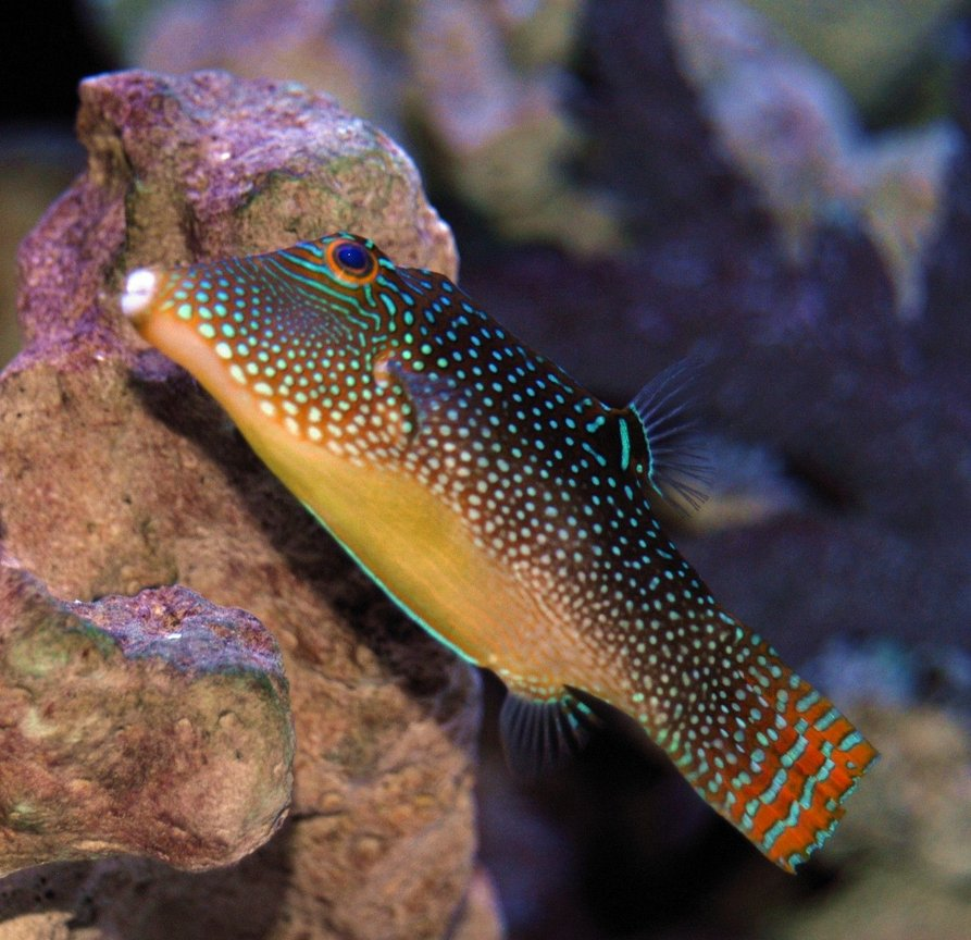 saltwater fish - canthigaster solandri - blue spotted puffer stocking in 150 gallons tank - Spotted Sharpnose Puffer