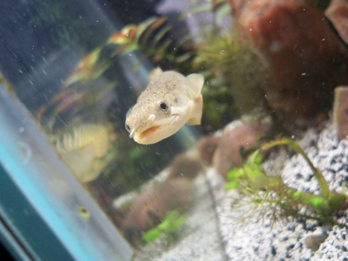 saltwater fish - diodon holocanthus - porcupine puffer stocking in 20 gallons tank - birchir