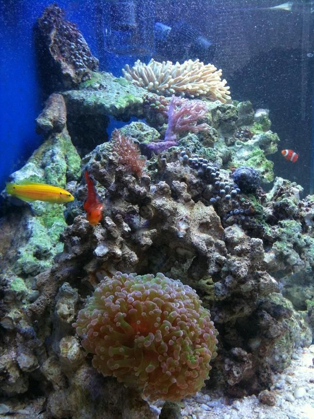 saltwater fish - amphiprion percula - true percula clownfish stocking in 46 gallons tank - side view of my 46 gallon