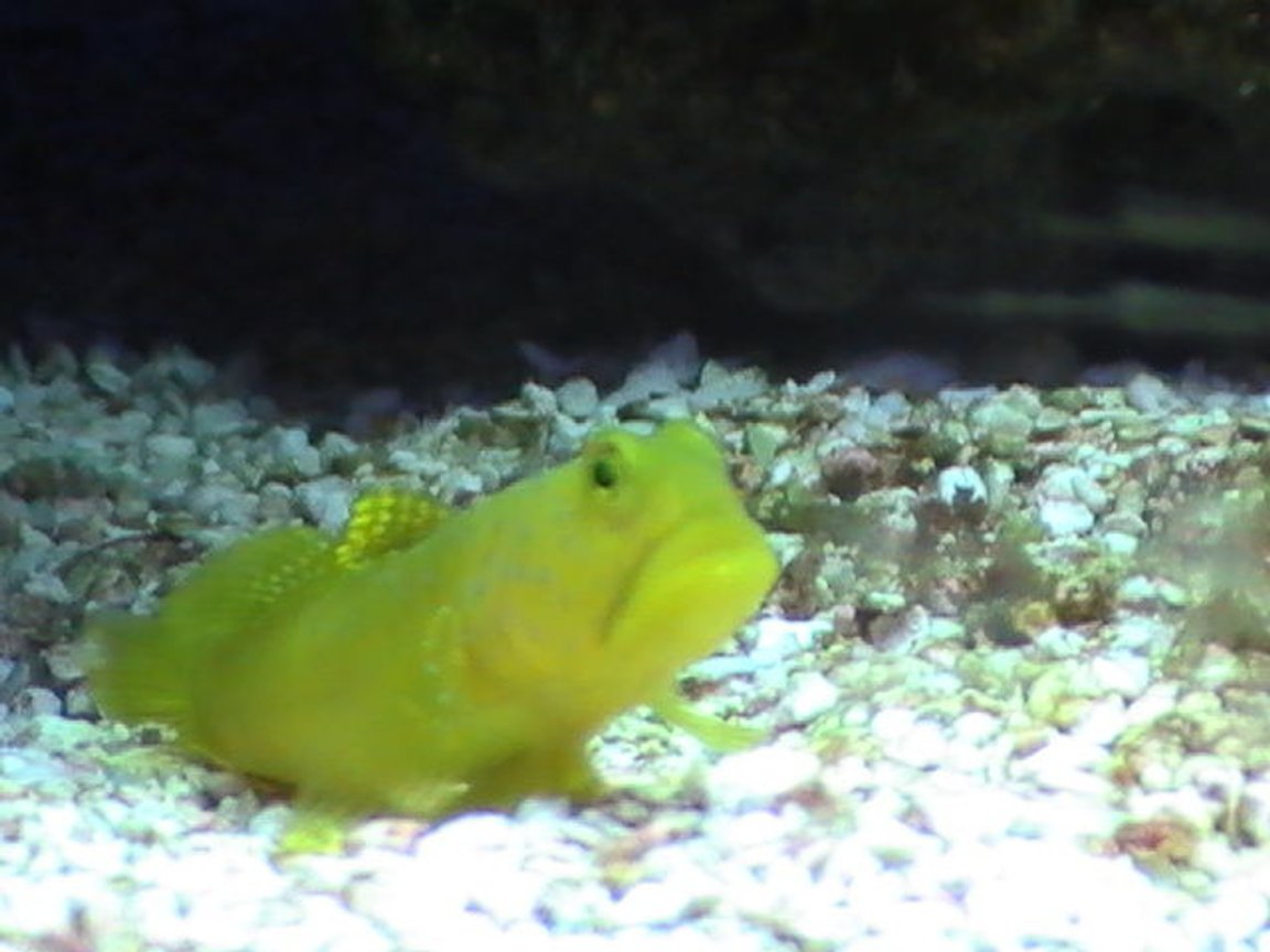 saltwater fish - cryptocentrus cinctus - yellow watchman goby stocking in 55 gallons tank - Goby peeking out