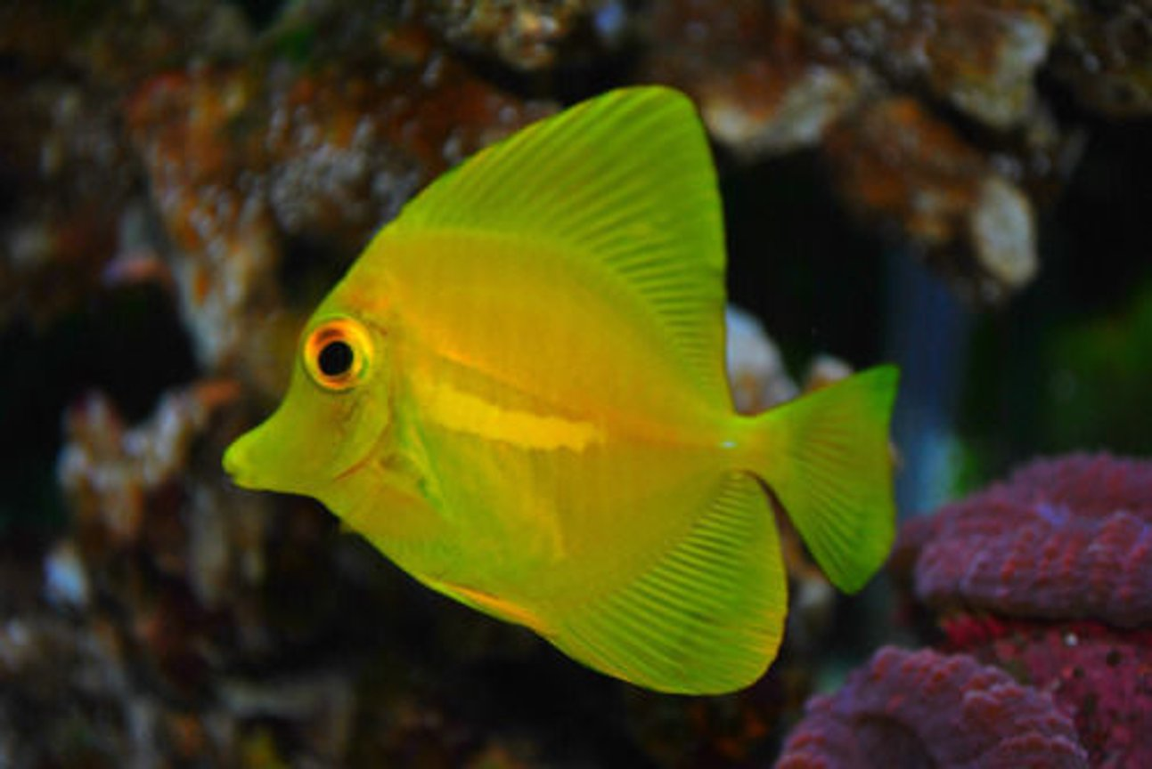 saltwater fish - zebrasoma flavescens - yellow tang - hawaii stocking in 29 gallons tank - My yellow Tang