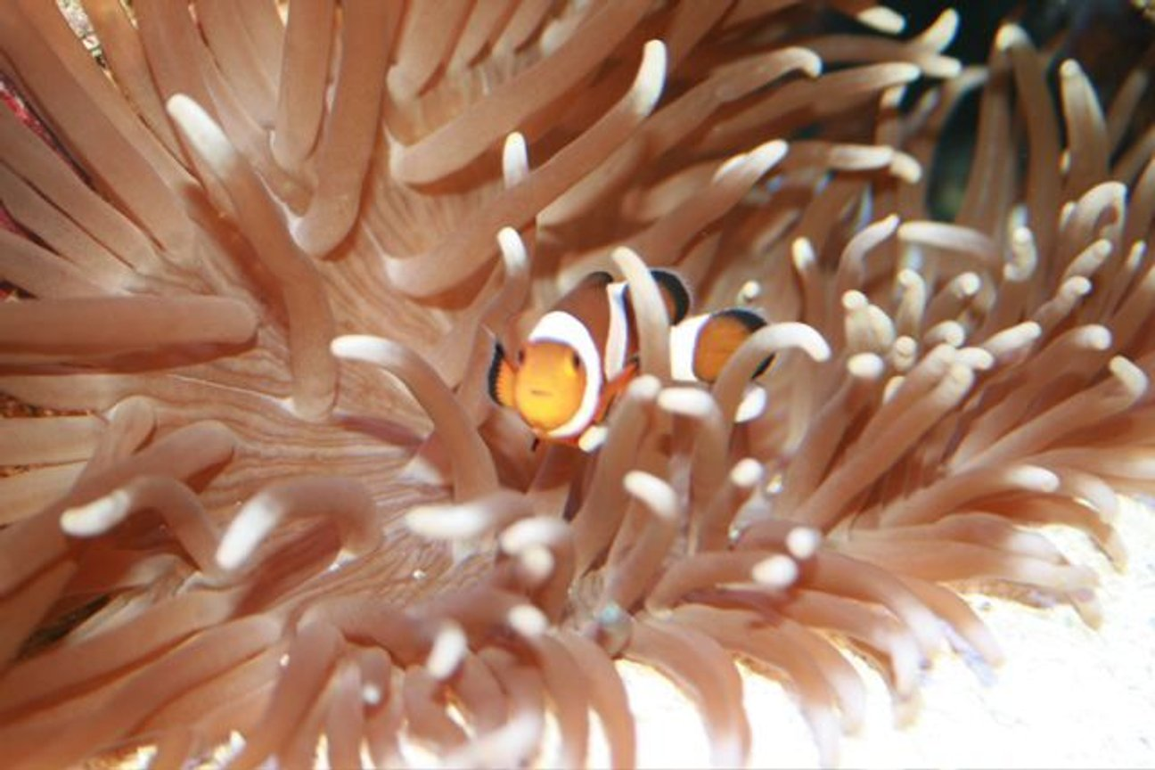 saltwater fish - amphiprion percula - true percula clownfish stocking in 75 gallons tank - .......