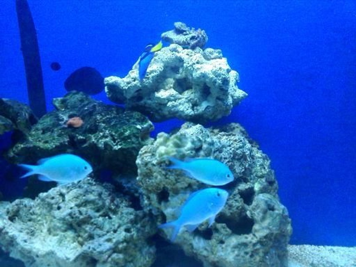 saltwater fish - chromis viridis - green reef chromis stocking in 55 gallons tank - my green chromis trio
