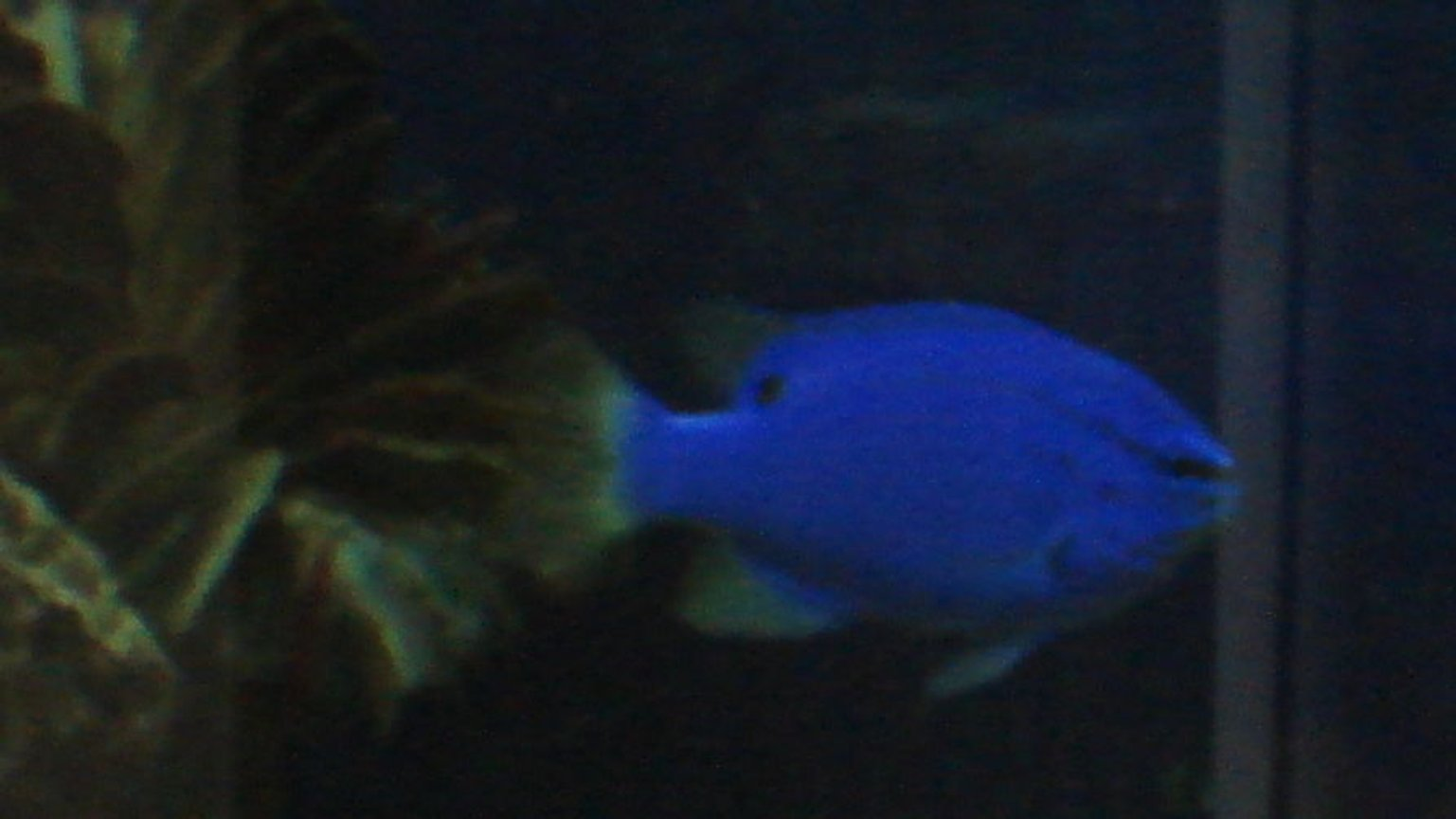 saltwater fish - chrysiptera cyanea - blue damselfish stocking in 44 gallons tank - Blue Damsel