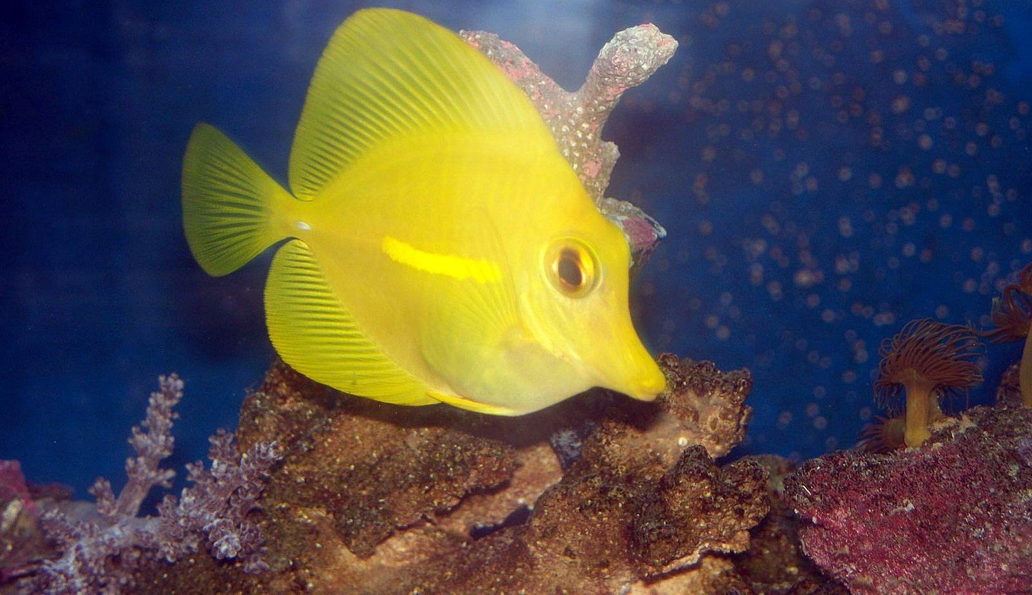 saltwater fish - zebrasoma flavescens - yellow tang - hawaii stocking in 55 gallons tank - HW Yellow Tang