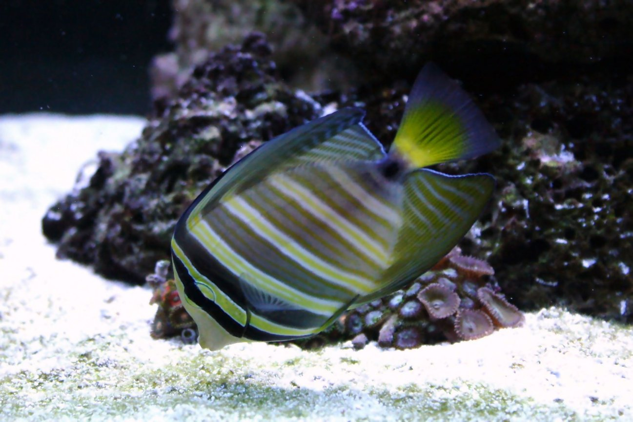saltwater fish - zebrasoma veliferum - sailfin tang stocking in 90 gallons tank - Sailfin