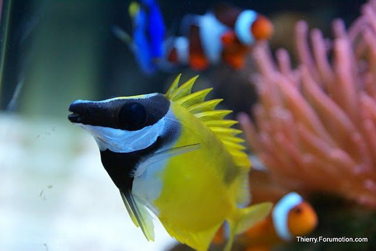 saltwater fish - siganus vulpinus - foxface lo stocking in 66 gallons tank - Foxface with spikes up!