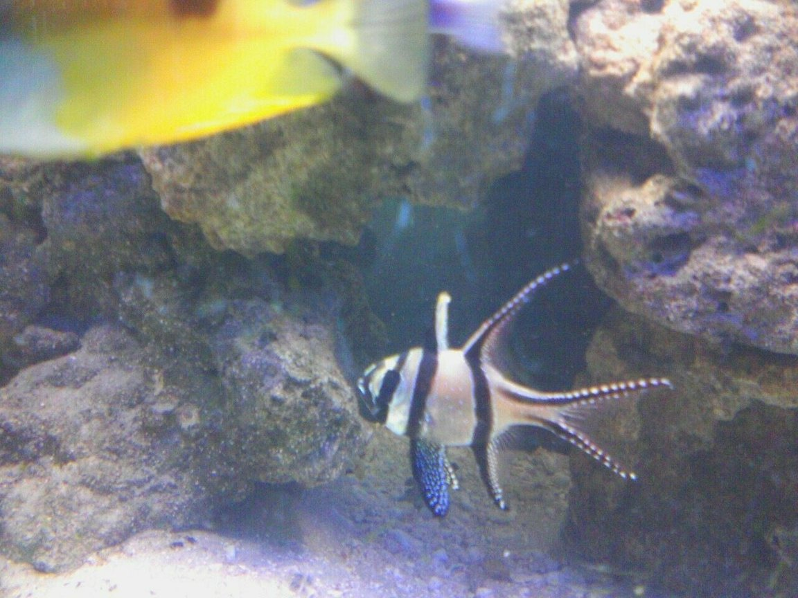 saltwater fish - pterapogon kauderni - kaudern's cardinal stocking in 125 gallons tank - Micheal Meyers