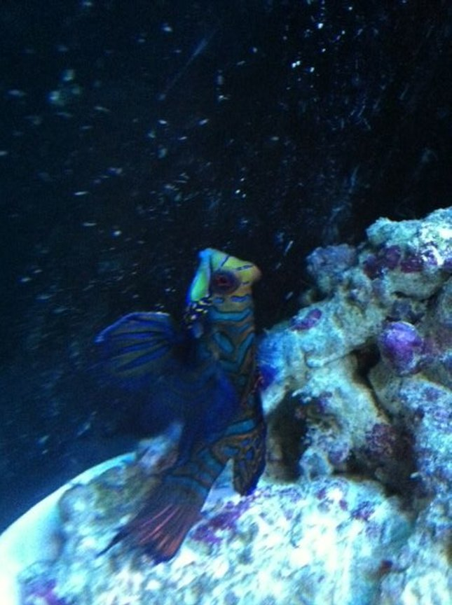 saltwater fish - synchiropus splendidus - green mandarin stocking in 90 gallons tank - Dragonet