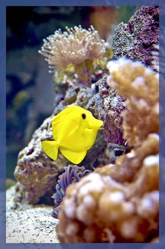 saltwater fish - zebrasoma flavescens - yellow tang - hawaii stocking in 90 gallons tank - My 90 gal