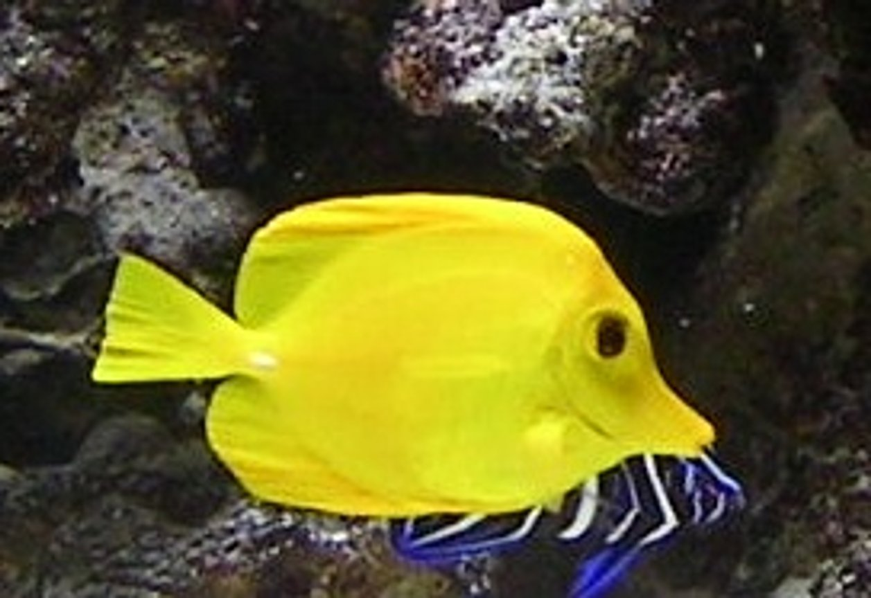 saltwater fish - zebrasoma flavescens - yellow tang - hawaii stocking in 55 gallons tank - my yellow tang and koran angel