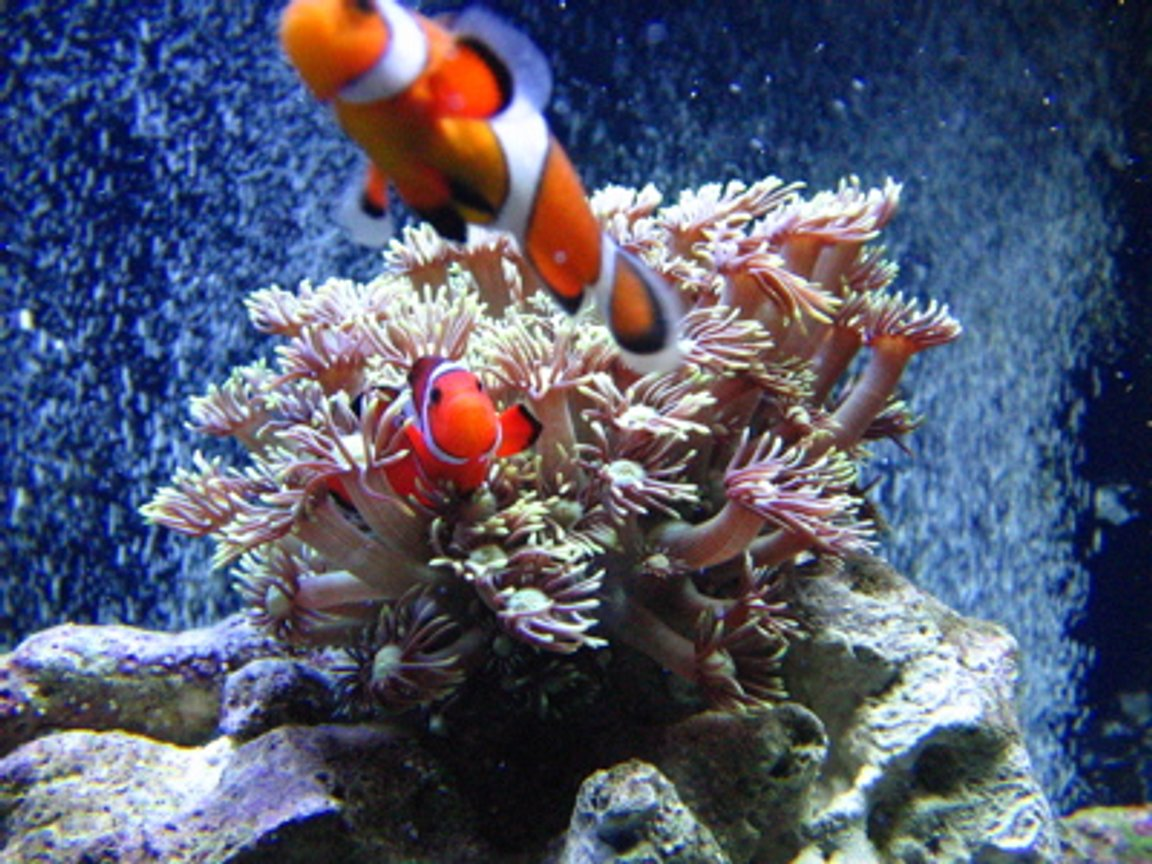 saltwater fish - amphiprion percula - true percula clownfish stocking in 46 gallons tank - Clowns playing