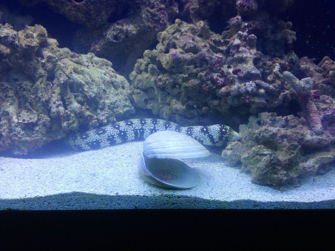 saltwater fish - echidna nebulosa - snowflake eel stocking in 150 gallons tank - Snowflake...doesn't bother any other fish