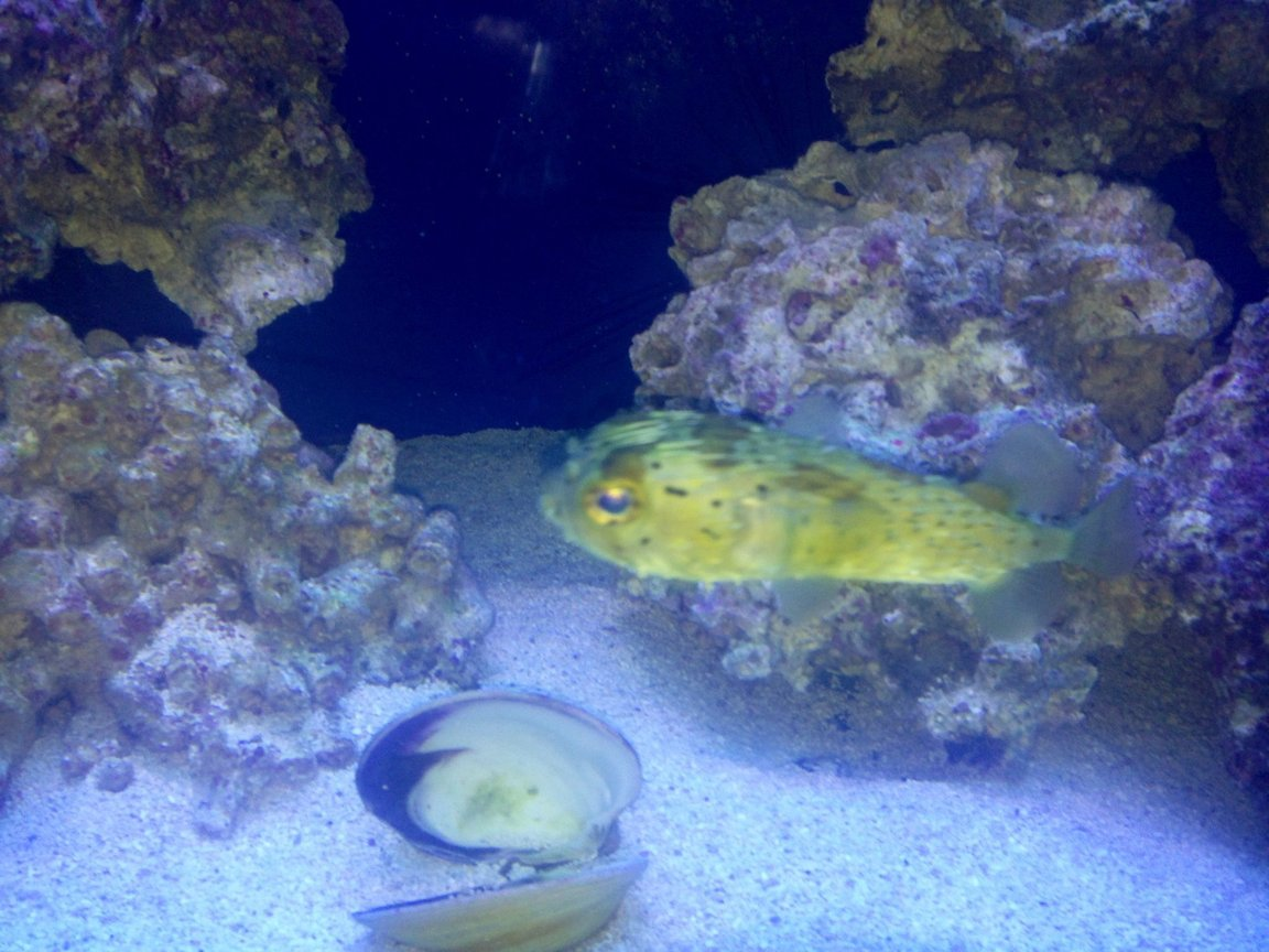 saltwater fish - diodon holocanthus - porcupine puffer stocking in 150 gallons tank - Porky the Puffer
