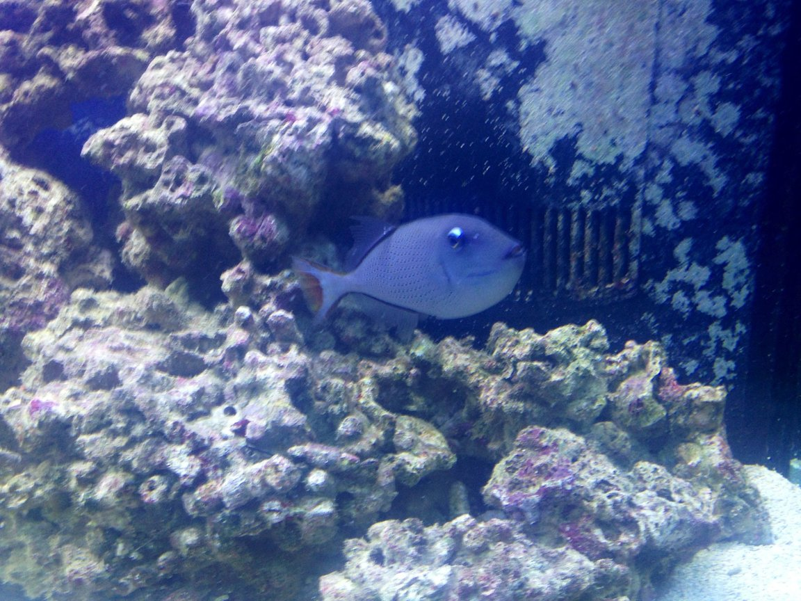 saltwater fish - xanthichthys auromarginatus - blue throat triggerfish stocking in 150 gallons tank - Blue Throat Trigger..very peaceful