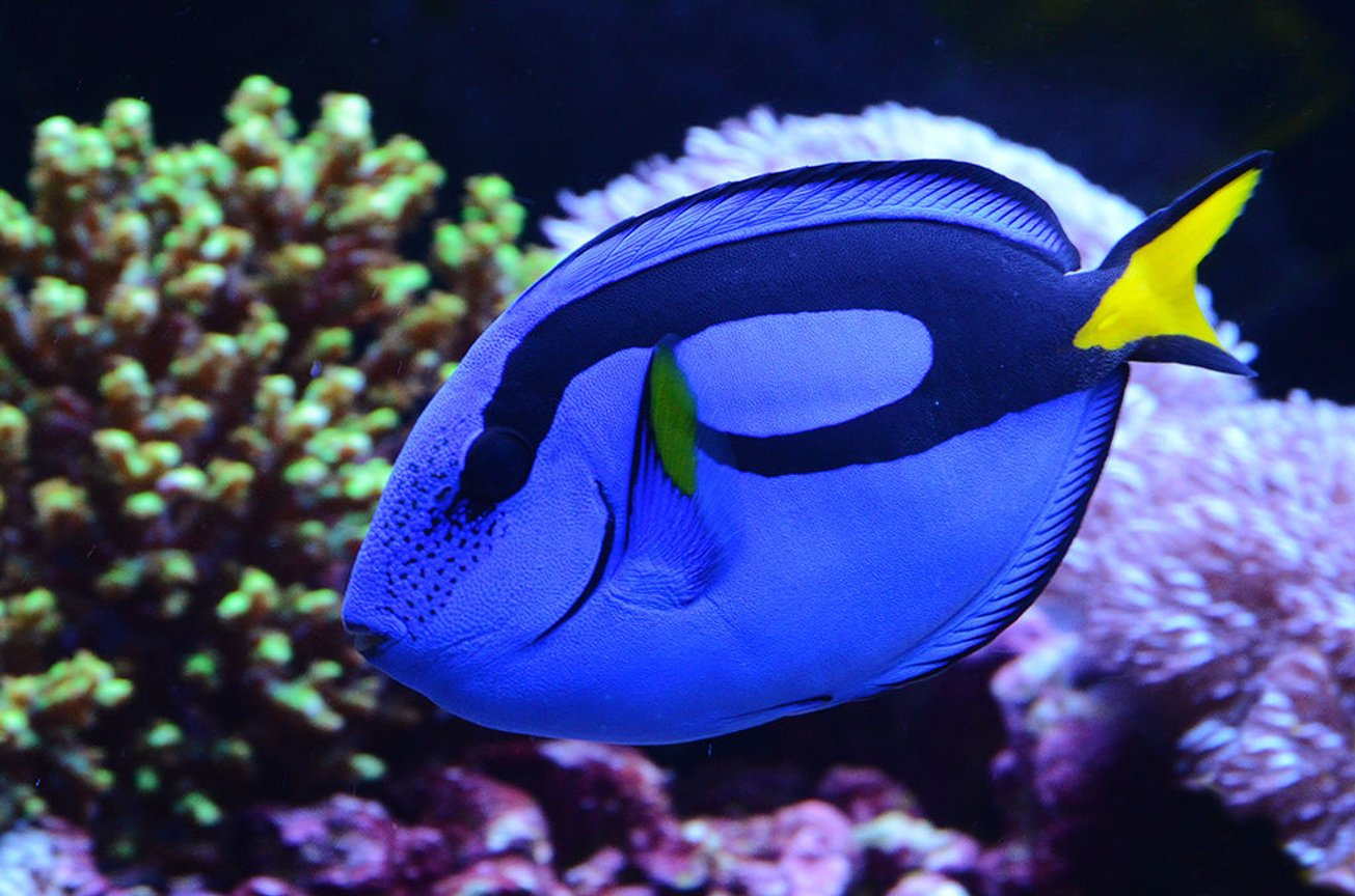 saltwater fish - paracanthurus hepatus - blue tang stocking in 240 gallons tank - My Blue Tang