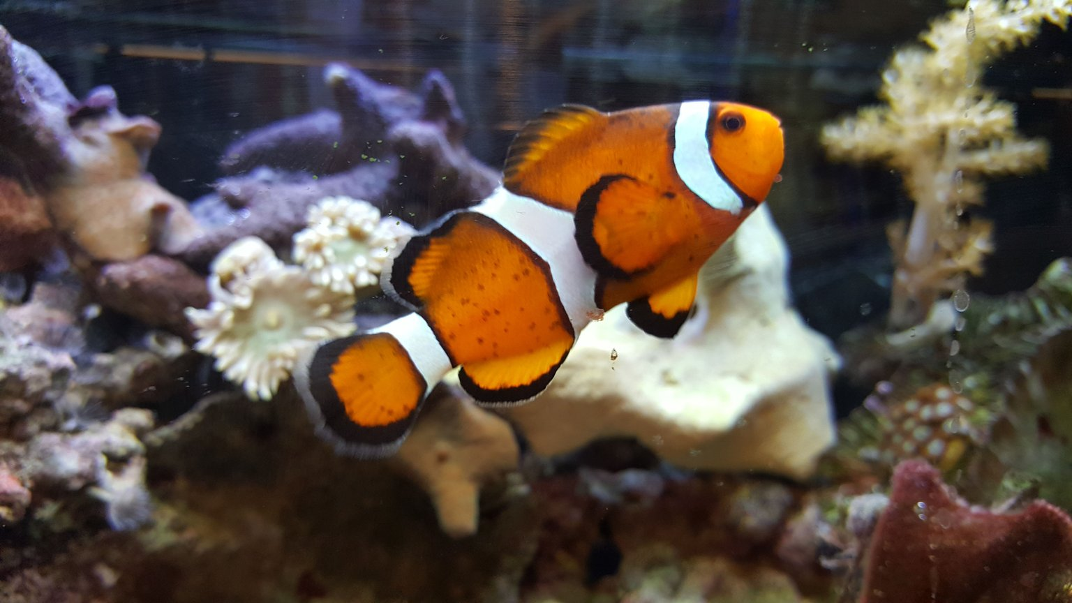 saltwater fish stocking in 80 gallons tank - My clown:)