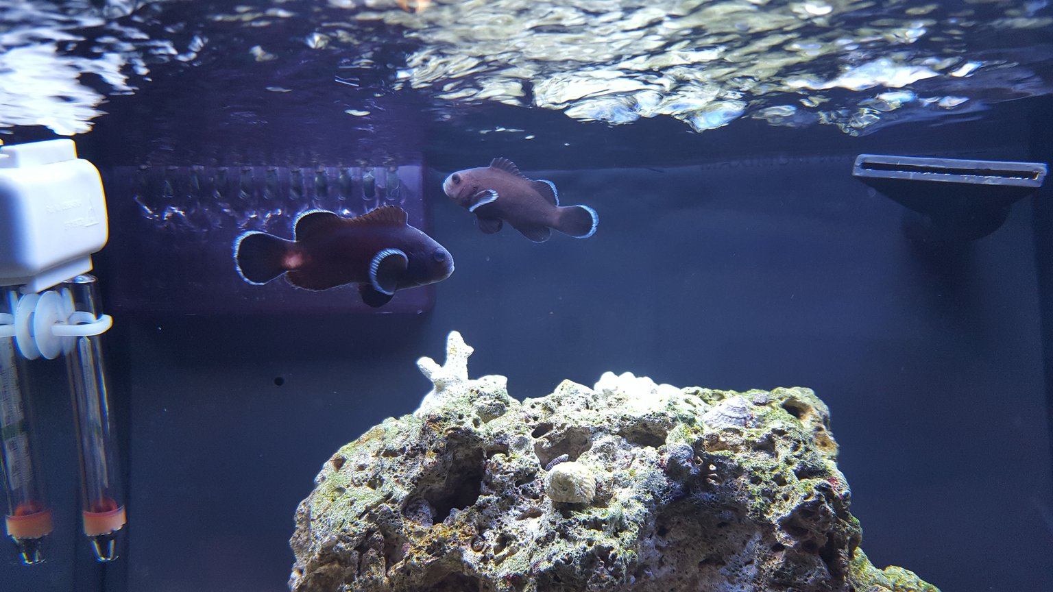 saltwater fish stocking in 12 gallons tank - Midnight black clown pair.
