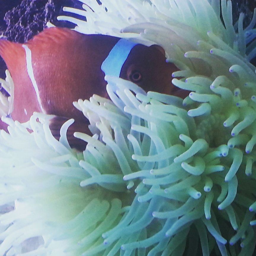 saltwater fish stocking in 260 gallons tank - my maroon clownfish inside his seabae anemone home