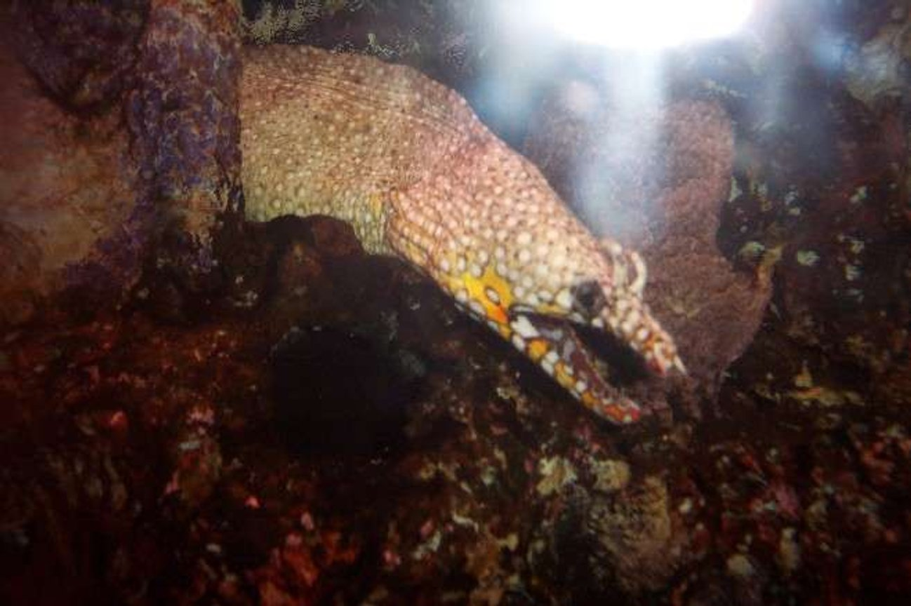 saltwater fish - muraena pardalis - dragon moray eel stocking in 25 gallons tank - Hawaiian Fire Dragon Eel