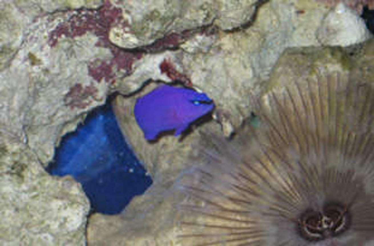 saltwater fish - chrysiptera cyanea - blue damselfish stocking in 38 gallons tank - Purple psuedo in tank 1 by feather duster