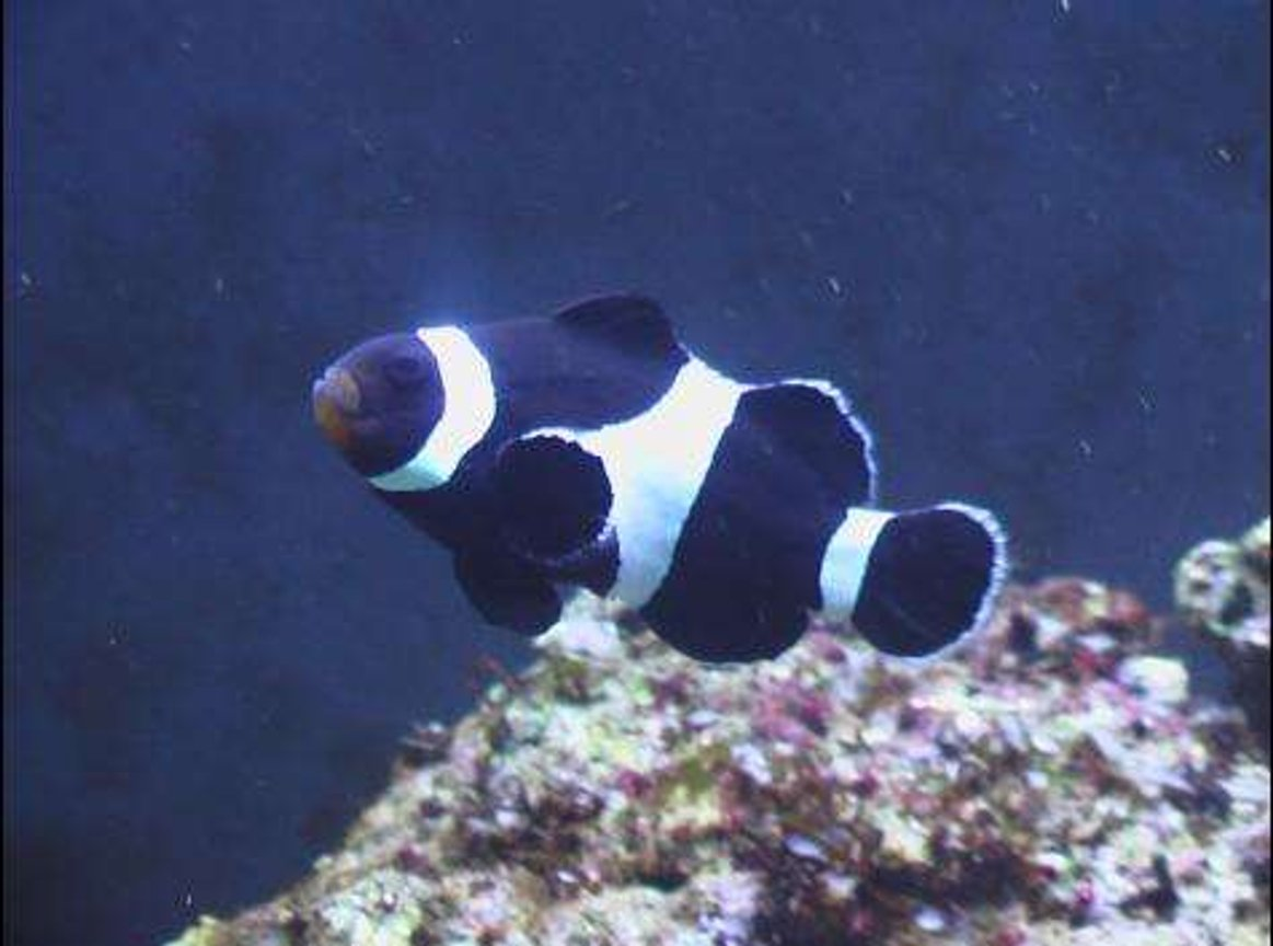 saltwater fish - amphiprion ocellaris var. - black & white ocellaris clownfish stocking in 24 gallons tank - here is a crap picture of my clownfish