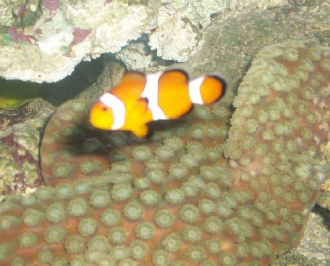 saltwater fish - amphiprion ocellaris - ocellaris clownfish stocking in 75 gallons tank - my clown swimming in front of my pogoda coral