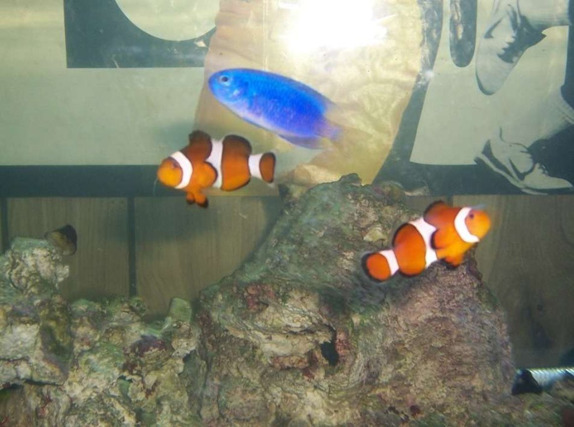 saltwater fish - amphiprion ocellaris - ocellaris clownfish stocking in 75 gallons tank - my clowns and damsel posing together for a picture
