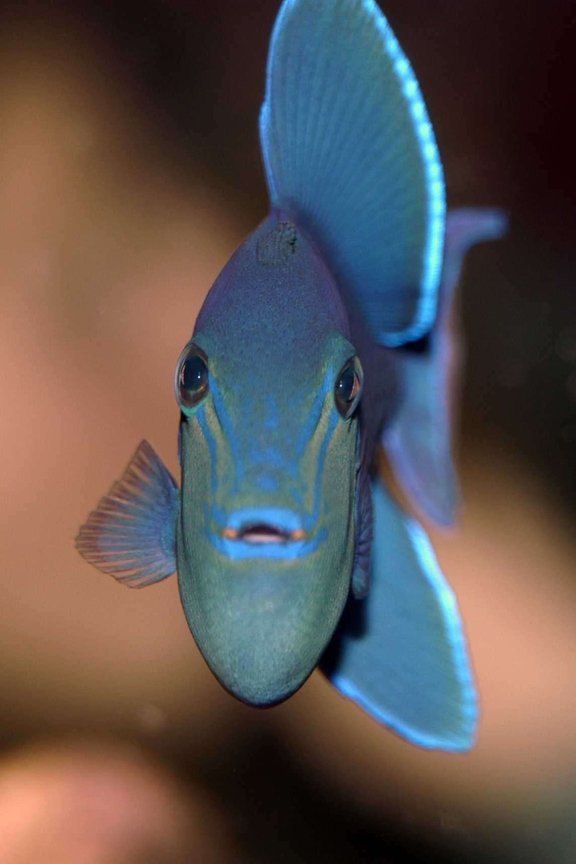 saltwater fish - odonus niger - niger triggerfish stocking in 150 gallons tank - Niger Trigger