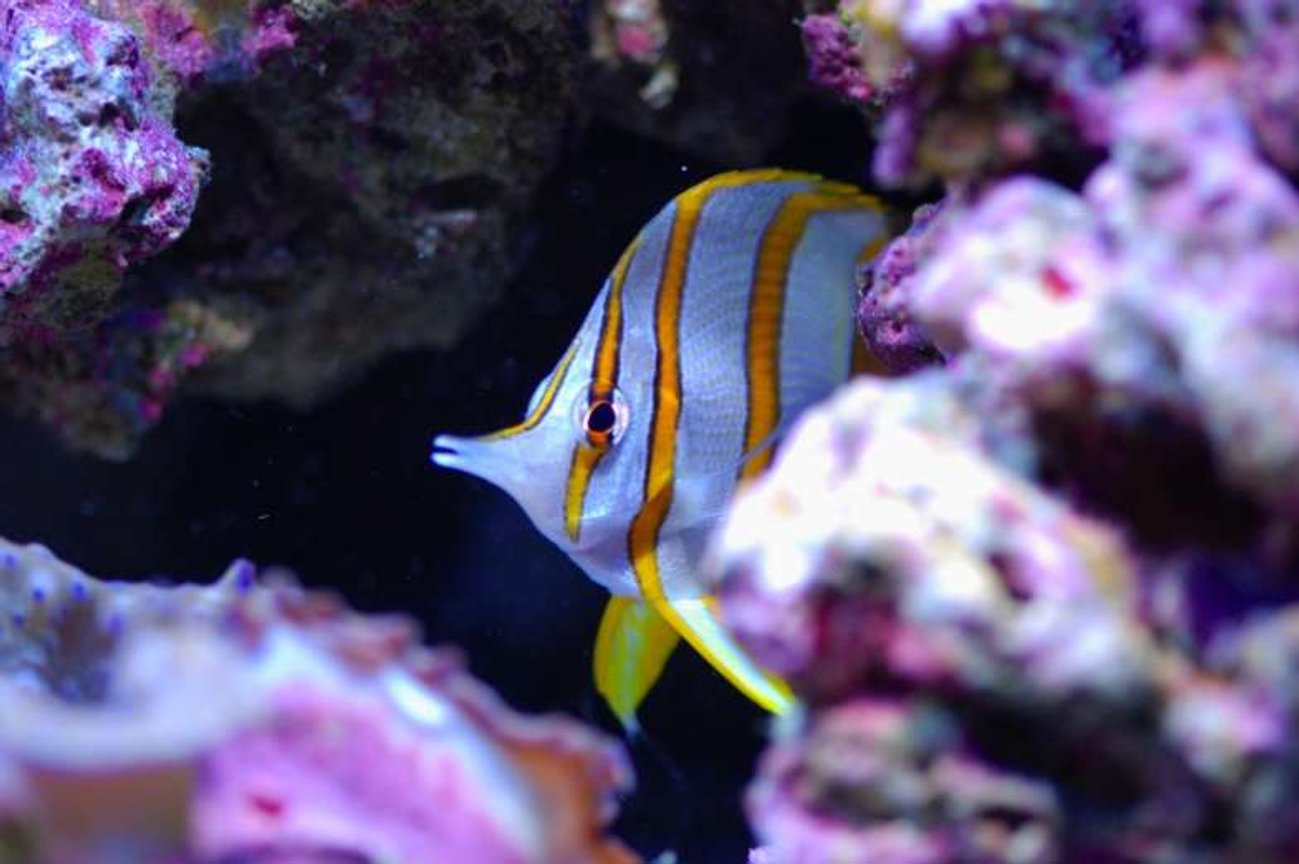 saltwater fish - chelmon rostratus - copperband butterflyfish stocking in 160 gallons tank - Copperbanded name Freddy
