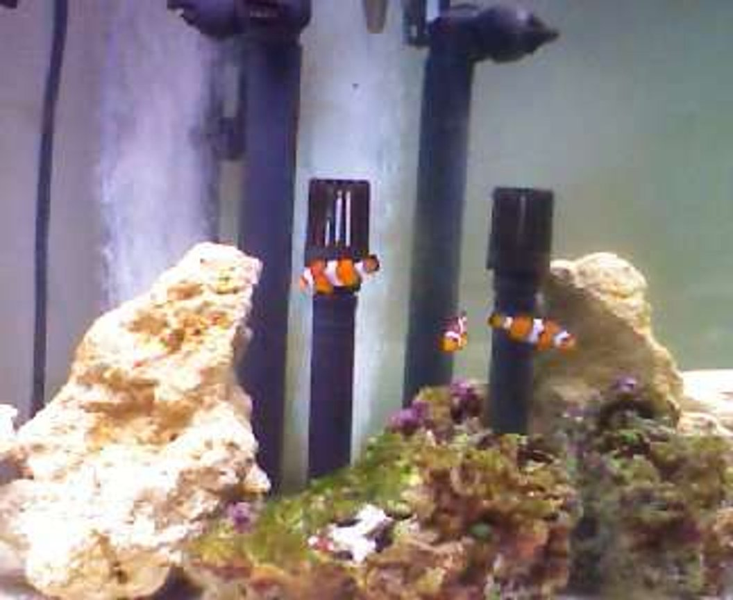 saltwater fish - amphiprion percula - true percula clownfish stocking in 190 gallons tank - tank