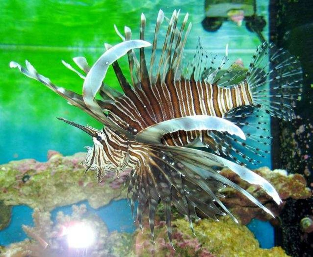 saltwater fish - pterois volitans - volitan lionfish stocking in 155 gallons tank - Lionfish