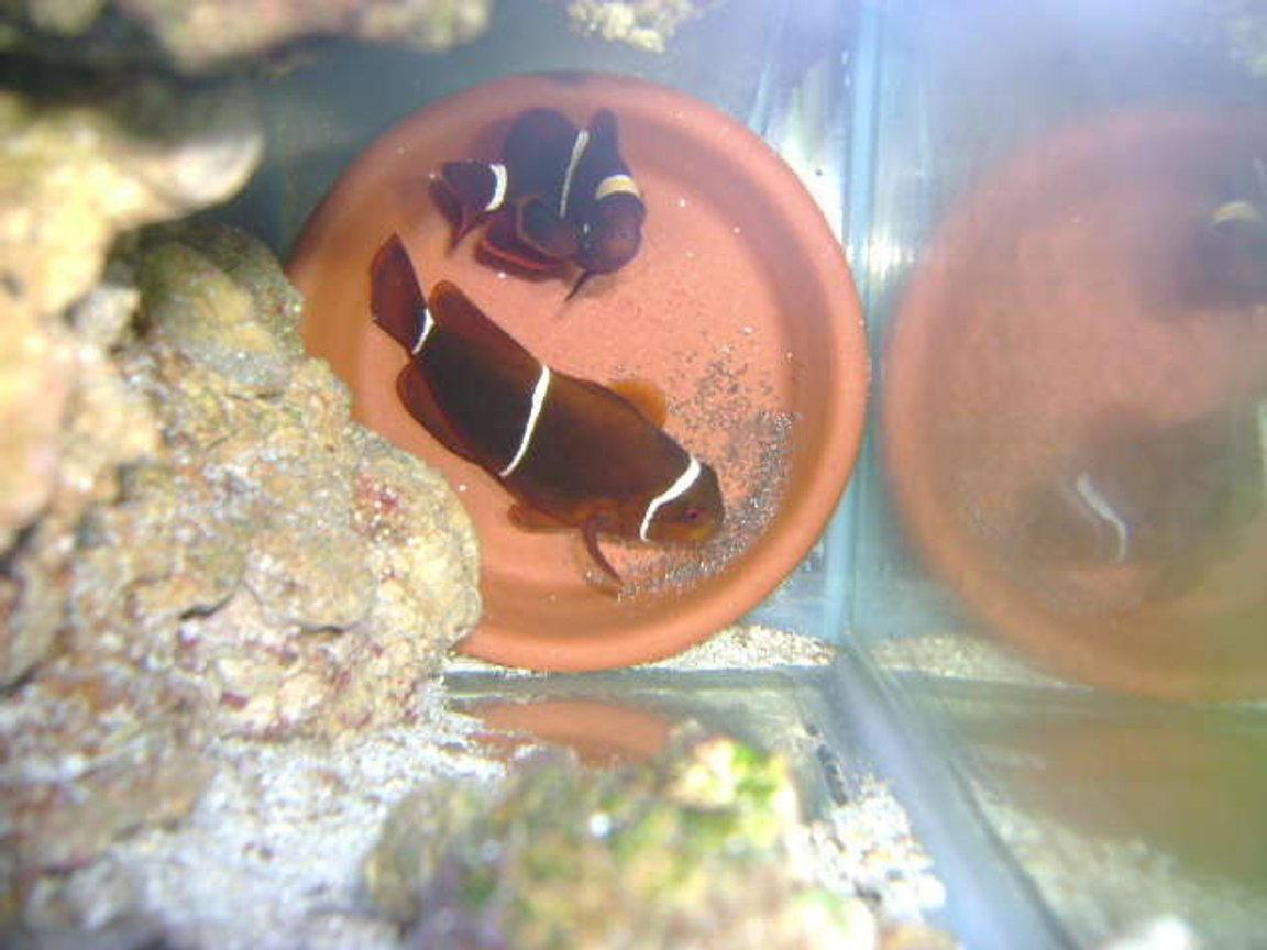 saltwater fish - premnas biaculeatus - maroon clownfish stocking in 29 gallons tank - maroon clown breeding