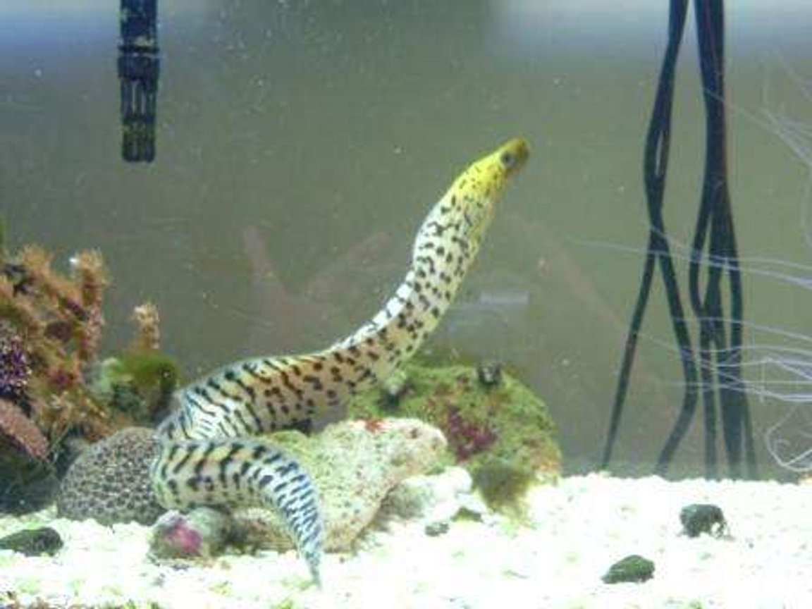 saltwater fish - gymnothorax fimbriatus - fimbriated eel stocking in 55 gallons tank - Fimbriated eel
