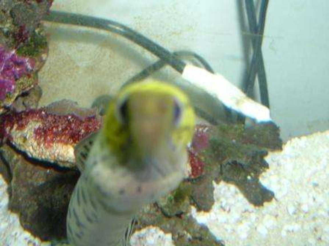 saltwater fish - gymnothorax fimbriatus - fimbriated eel stocking in 55 gallons tank - Nice close up