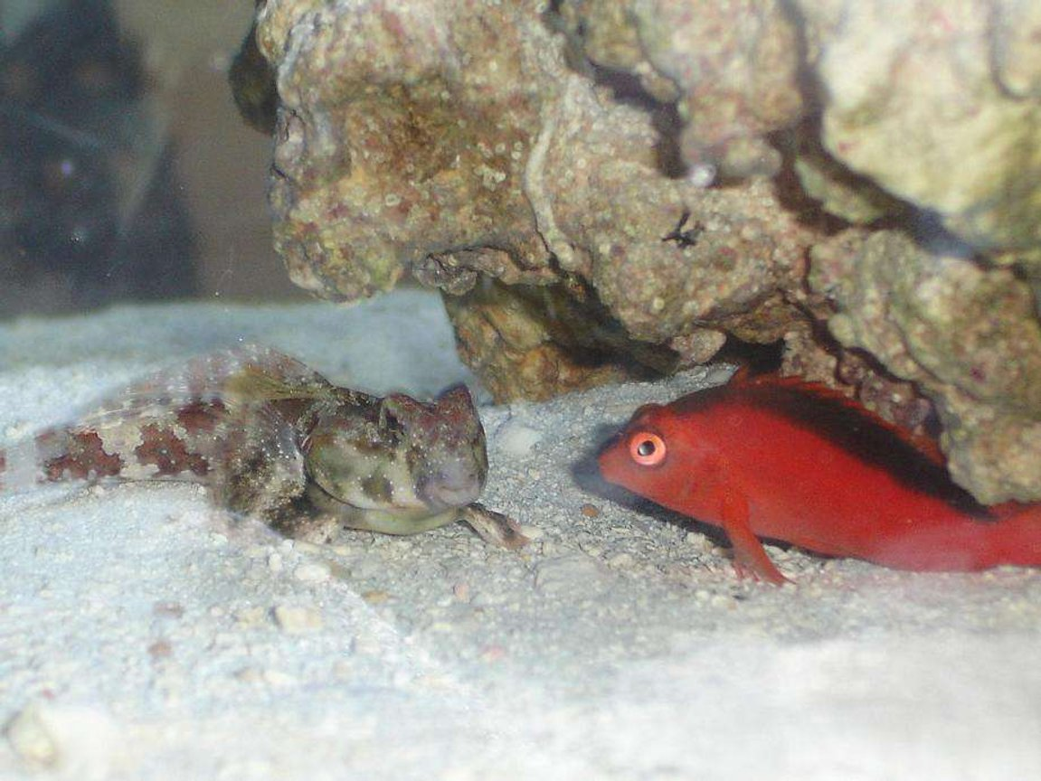 saltwater fish - synchiropus ocellatus - scooter blenny stocking in 20 gallons tank - Odd Couple