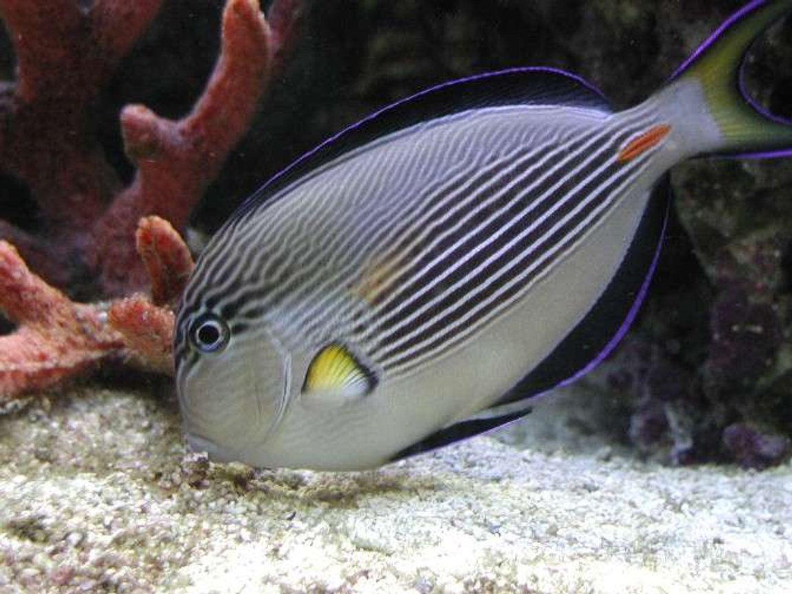 saltwater fish - acanthurus sohal - sohal tang stocking in 180 gallons tank - I really miss my sohal tang. Had to give him away. He was just too mean and was a real poop machine. I replaced him with a Pink Tail Triggerfish. He makes a mess too but is not aggresive.