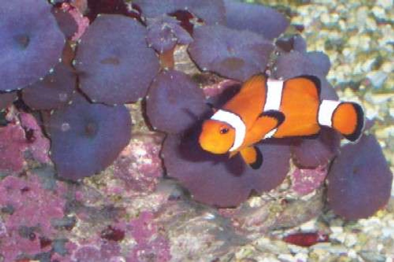 saltwater fish - amphiprion ocellaris - ocellaris clownfish stocking in 55 gallons tank - My female clown.