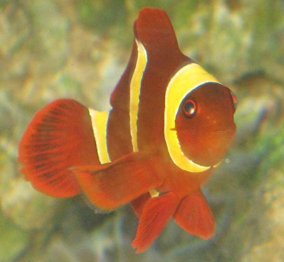 saltwater fish - premnas biaculeatus - yellowstripe maroon clownfish stocking in 75 gallons tank - gold banded maroon clown