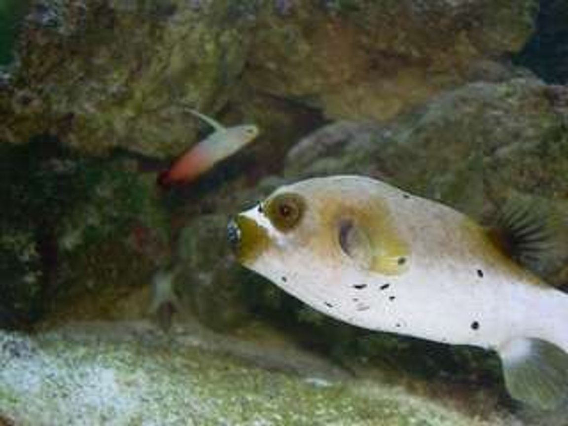 saltwater fish - arothron nigropunctatus - arothron dog face puffer stocking in 75 gallons tank - My Dogface Puffer and Firefish. Both unfortunately died. Puffer because of ick and the firefish was a jumper.