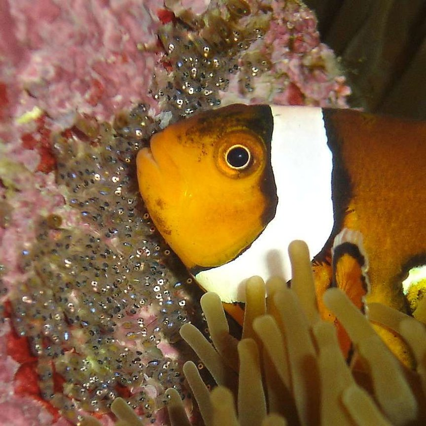 saltwater fish - amphiprion ocellaris - ocellaris clownfish stocking in 140 gallons tank - Macro shot of clown and her babies