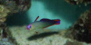 Purple Firefish Nemateleotris decora  Fin Raised