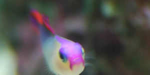 Purple Firefish Nemateleotris decora  Head On