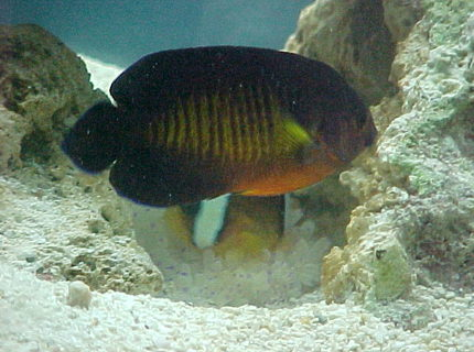 saltwater fish - centropyge bispinosa - coral beauty angelfish